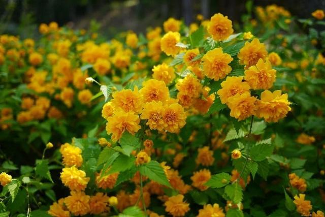 Посадив в своём саду три неприхотливых кустарника, мимо не пройдёшь, чтобы не оглянутся на эту красоту.