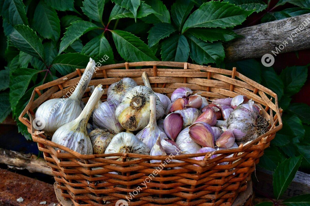 В почву под посадку озимого чеснока достаточно внести всего 3 ингредиента для шикарного урожая.