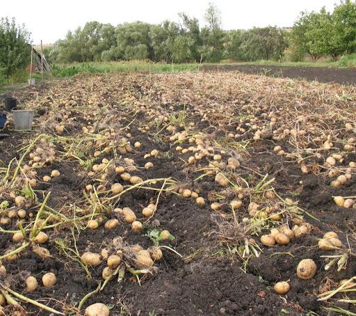 Как собрать 48 вёдер картошки с одной сотки. Оказывается, всю жизнь сажал картошку неправильно!