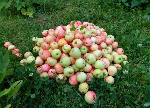 Опавшие яблоки не выбрасываю, а бегом несу в теплицу: хитрость «От свекрови». Польза для помидоров.